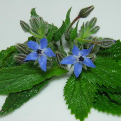 Risotto-alle-Ortiche-con-foglie-e-fiori-di-Borragine fonte terranuova.it