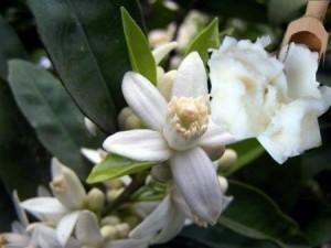 fiori karitè (fonte sanawell.it)