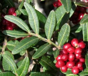 pistacia_lentiscus (fonte meditflora.com)