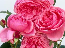 rose-cy001708-260x195